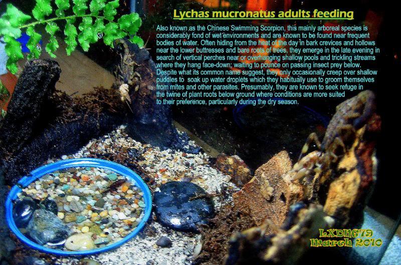 [ASF] Lychas mucronatus Mucronatusfeeding