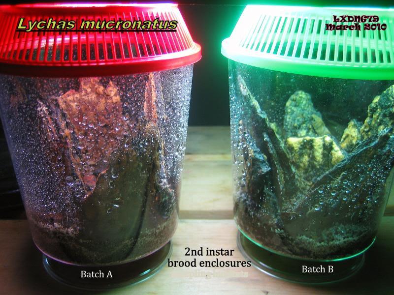 [ASF] Lychas mucronatus Mucronatusscorplingbatches