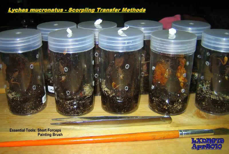 [ASF] Lychas mucronatus ScorplingTransfer