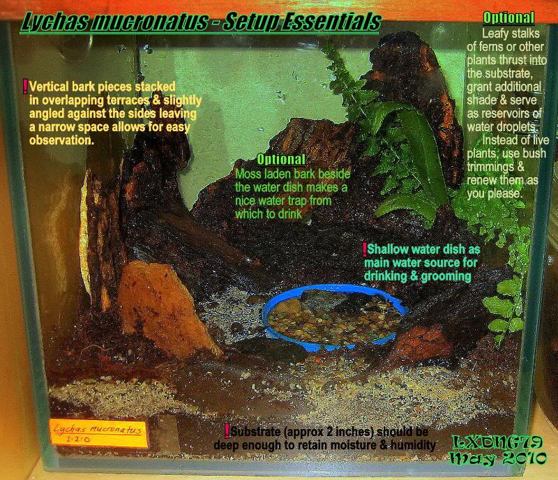 [ASF] Lychas mucronatus Setupdetails1