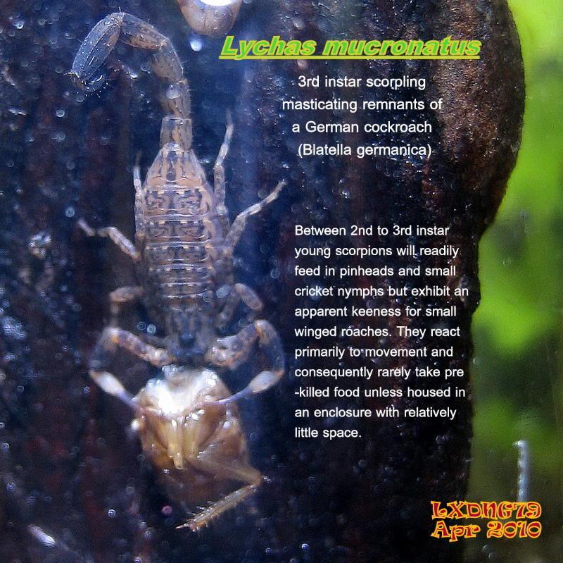 [ASF] Lychas mucronatus Torsomunch1