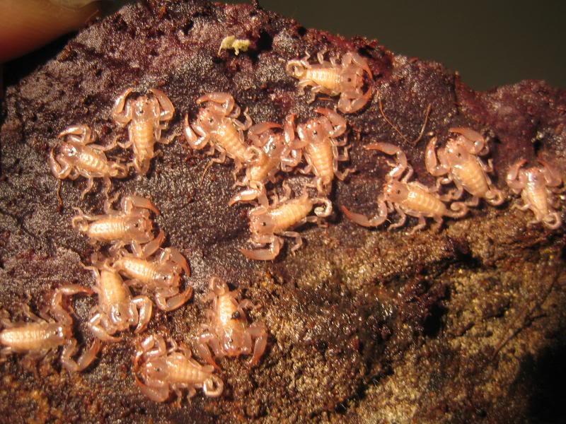 Liocheles australasiae Woodnymphs