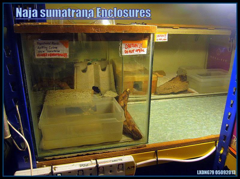 My Borneo Snake Collection - Page 3 Borneocobras_zpsfd5669e8