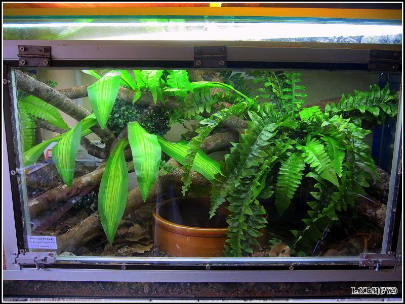 My Borneo Snake Collection - Page 3 Gonyosomaoxycephalummaxi_zpsd749f951
