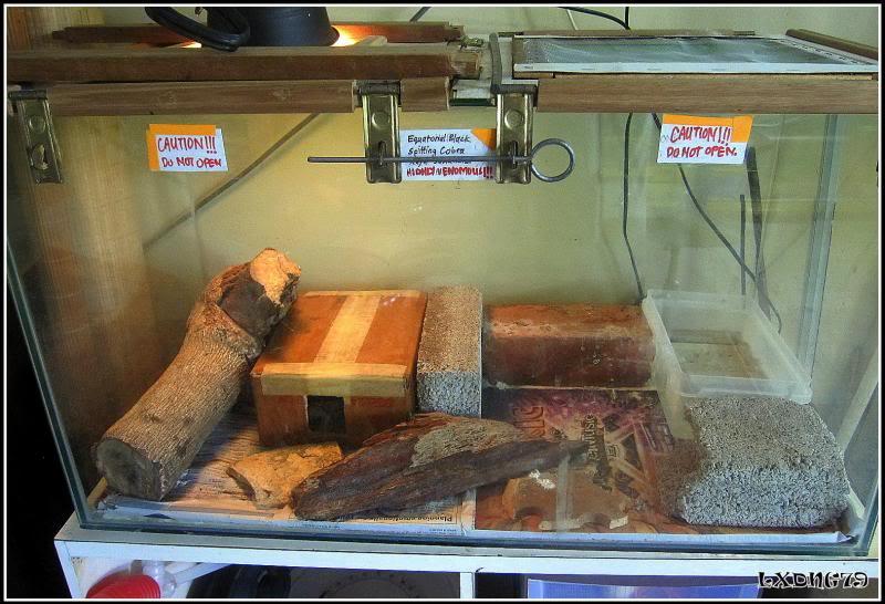 My Borneo Snake Collection - Page 3 Sidsumatrana_zps72dc871e