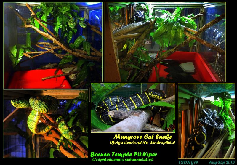 My Borneo Snake Collection - Page 3 ViperandMangrove_zpsf2054d46
