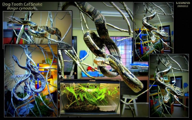 My Borneo Snake Collection Cynodon