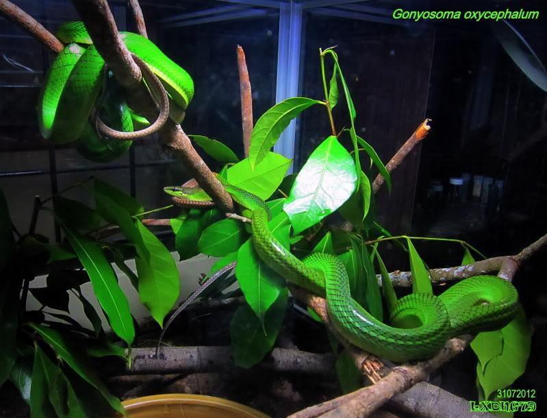 My Borneo Snake Collection Gonyosomapair