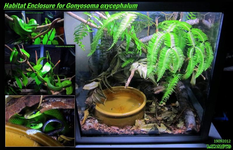 My Borneo Snake Collection Gonyosomas_zpsd2e38f9d