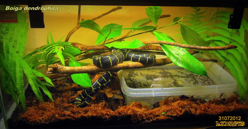 My Borneo Snake Collection Mngrv