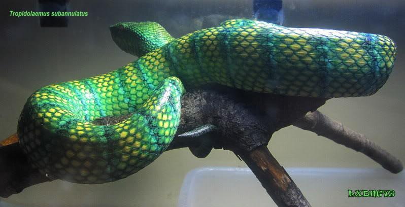 My Borneo Snake Collection Jeezabel