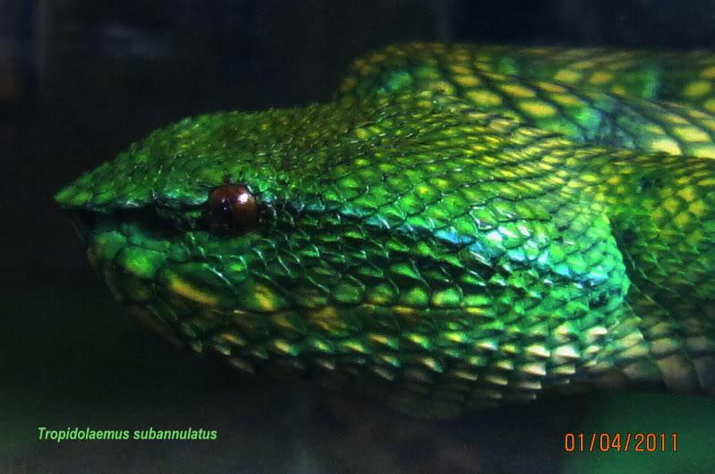My Borneo Snake Collection Jezebel3