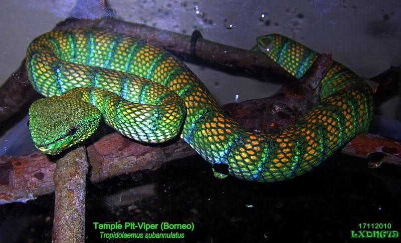My Borneo Snake Collection VIV2