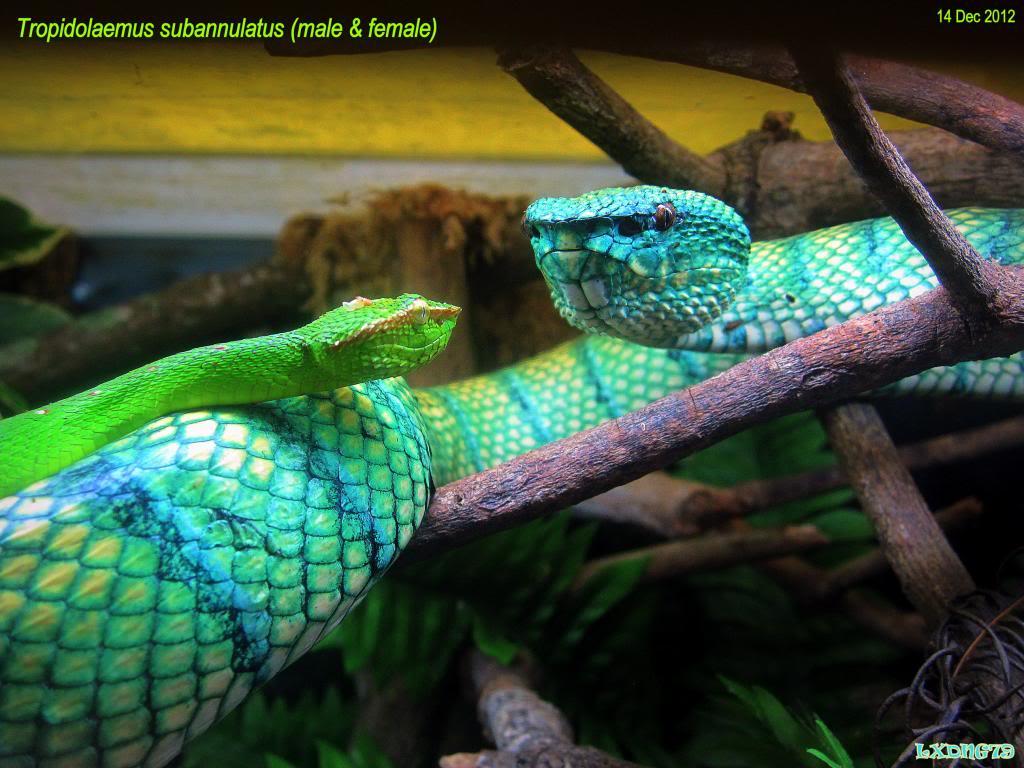 My Borneo Snake Collection SparkyandJezebel_zps294d8edf