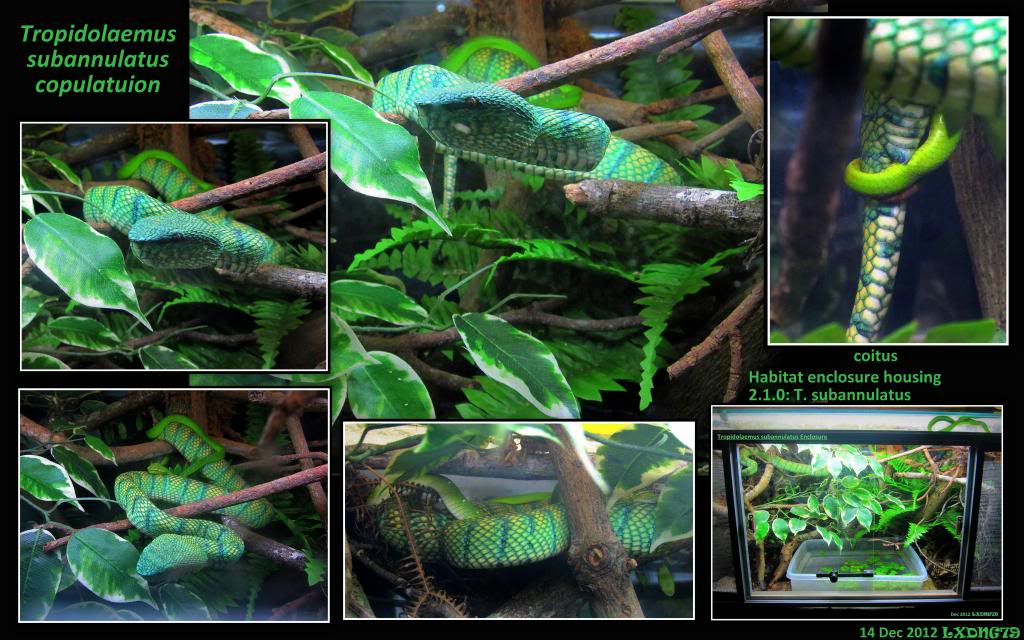 My Borneo Snake Collection TemplePitsMating