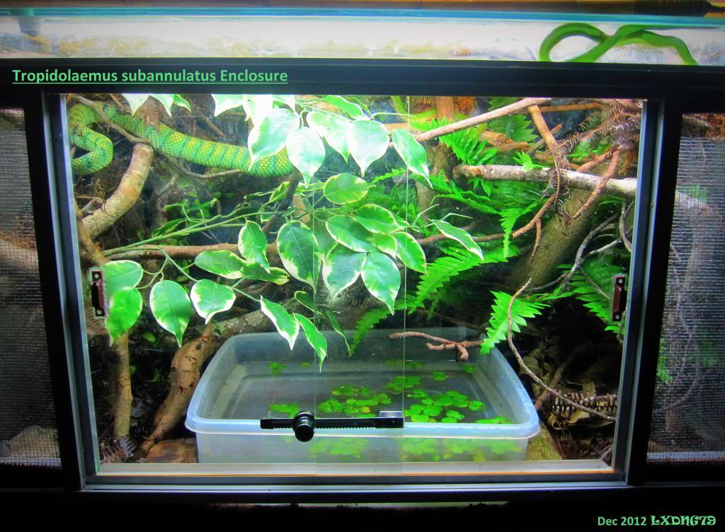 My Borneo Snake Collection TsubHabitat