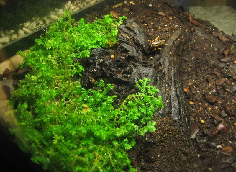 [HOW TO] Emulate a Natural-Looking Tropical Forest Scorpion Habitat Pandinus2