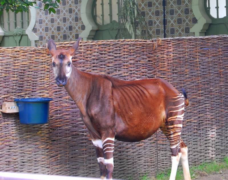 The new Bullyland Okapis Anversredandribb