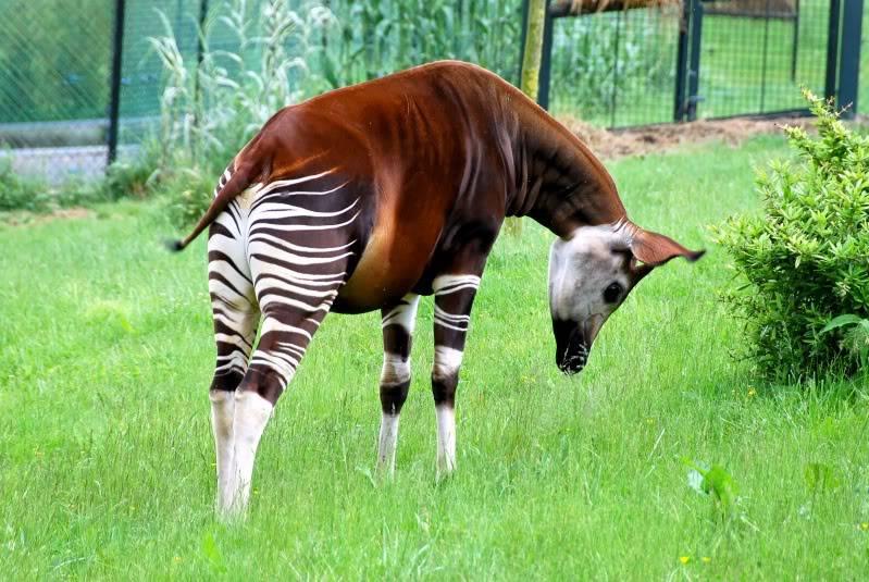 The new Bullyland Okapis Tim_20070518_Beauval_4175_e
