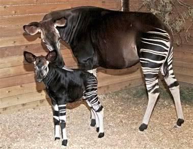The new Bullyland Okapis Okapi-1-1