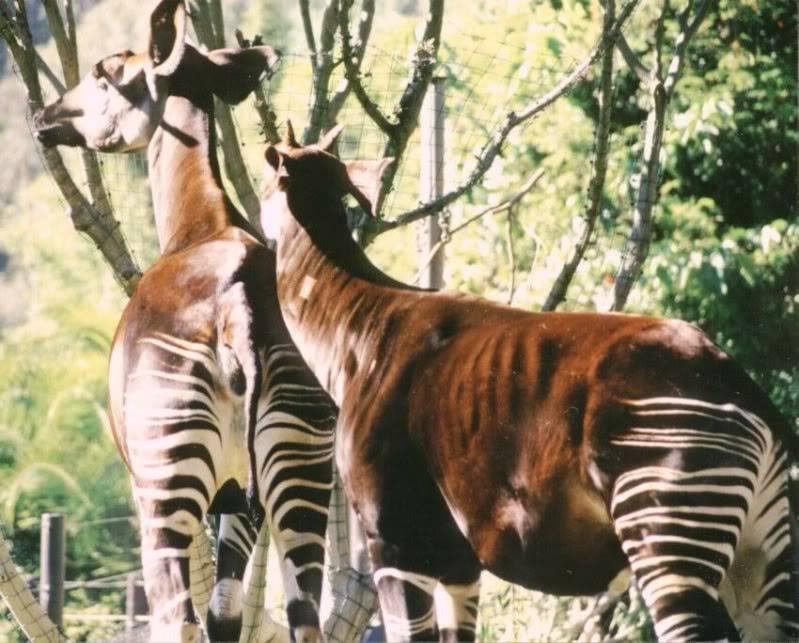 The new Bullyland Okapis Okapi-2-1