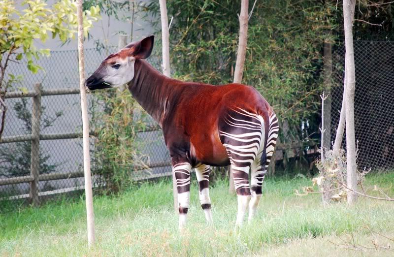 The new Bullyland Okapis Okapi-lisbon-portugal1152_12722960422-tpfil02aw-16913