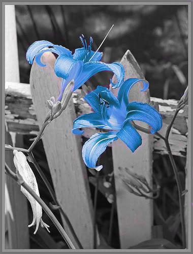 Crno-bijelo u boji - Page 3 Beautiful_daylilies