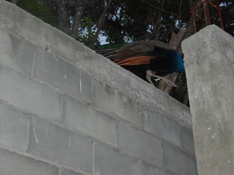 ¿Cómo hacer un aplanado en paredes? Construcciondecorralparaaves034