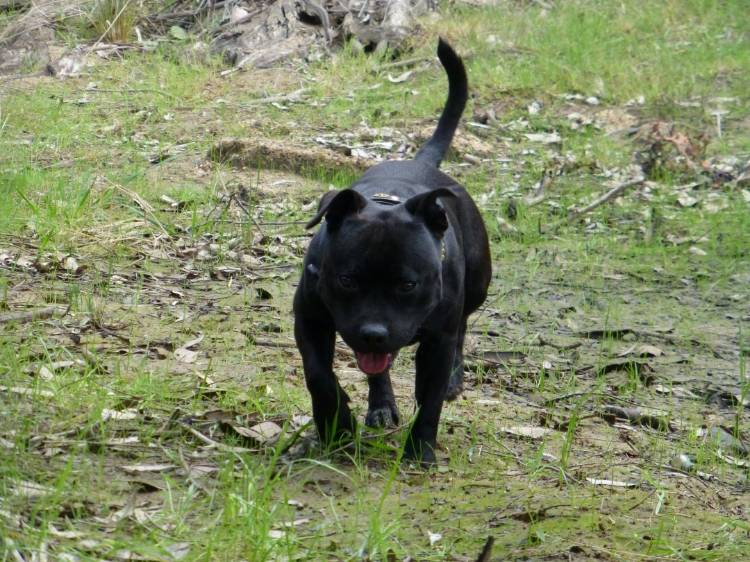Samba the gold sniffing dog 02caf591-5ac3-4290-a44d-b25d914f7b0d_zps82e9733a