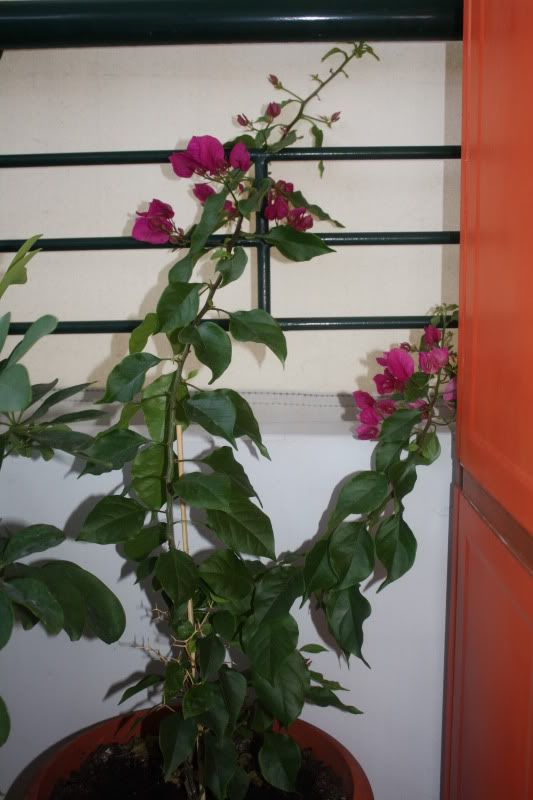 Florile din apartament - Pagina 2 007-20