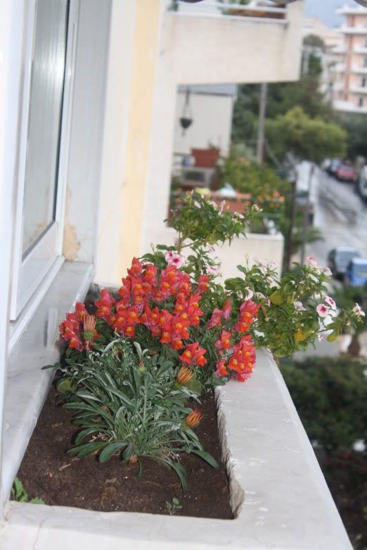 Florile din apartament - Pagina 2 008-18