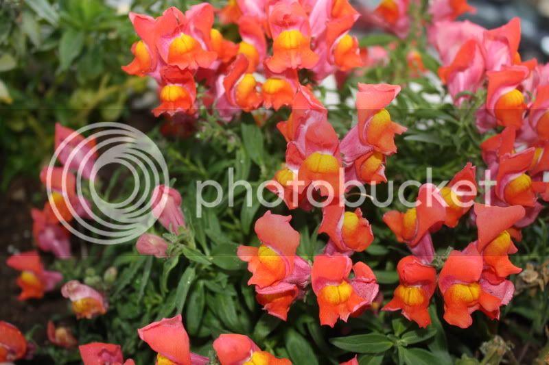 Florile din apartament - Pagina 2 009-16