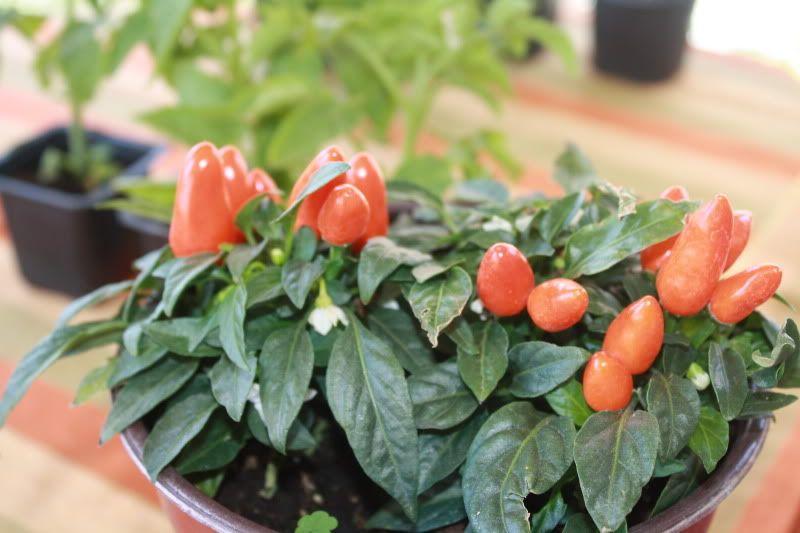 Gradina de legume! 016-26