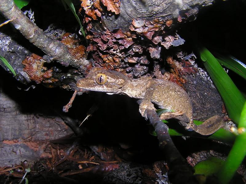 Les espèces reconnues du Genre Uroplatus 2007-03-14017