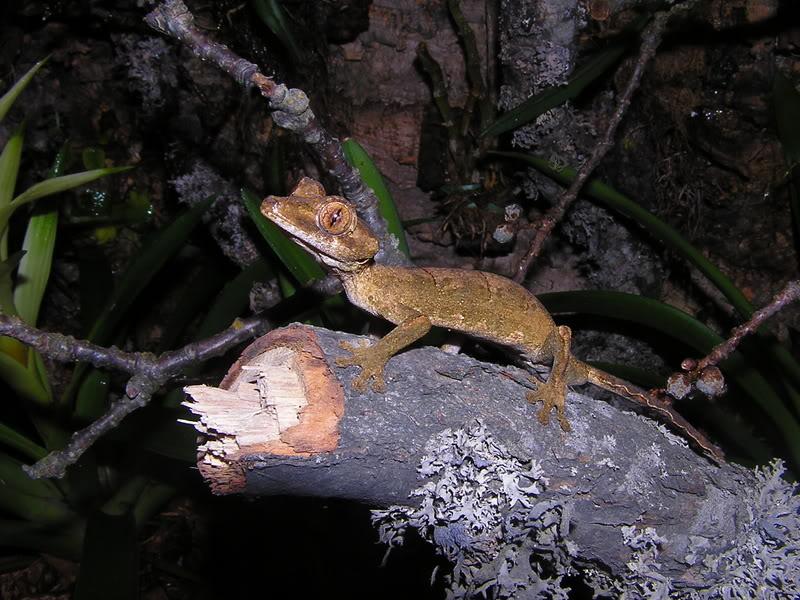 Les espèces reconnues du Genre Uroplatus 2007-03-14019