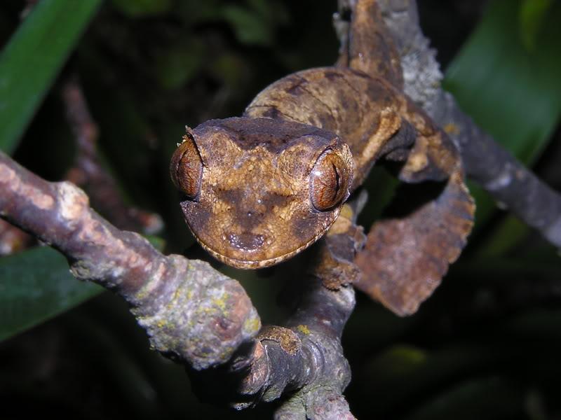 Les espèces reconnues du Genre Uroplatus 2007-03-14030
