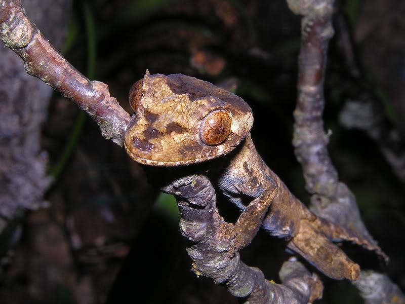 Les espèces reconnues du Genre Uroplatus 2007-03-15009
