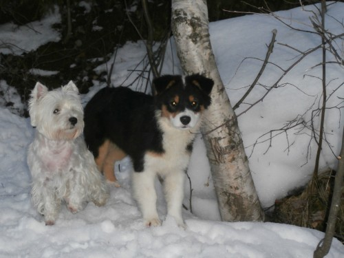 Мои собаки: Зена и Шива и их друзья весты - Страница 2 A975d8222225e09ae30f0c84ac7306c2