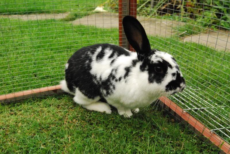 Forum Members Rabbits - Page 3 PeanutButterJellyDominoPebbles017