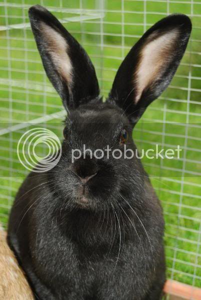 Forum Members Rabbits - Page 3 PeanutButterJellyDominoPebbles02-1
