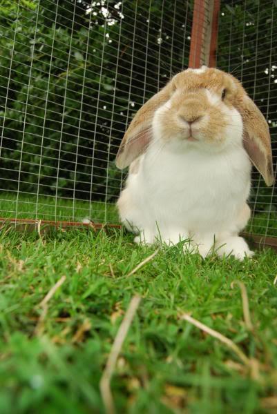 Forum Members Rabbits - Page 3 PeanutButterJellyDominoPebbles04-1