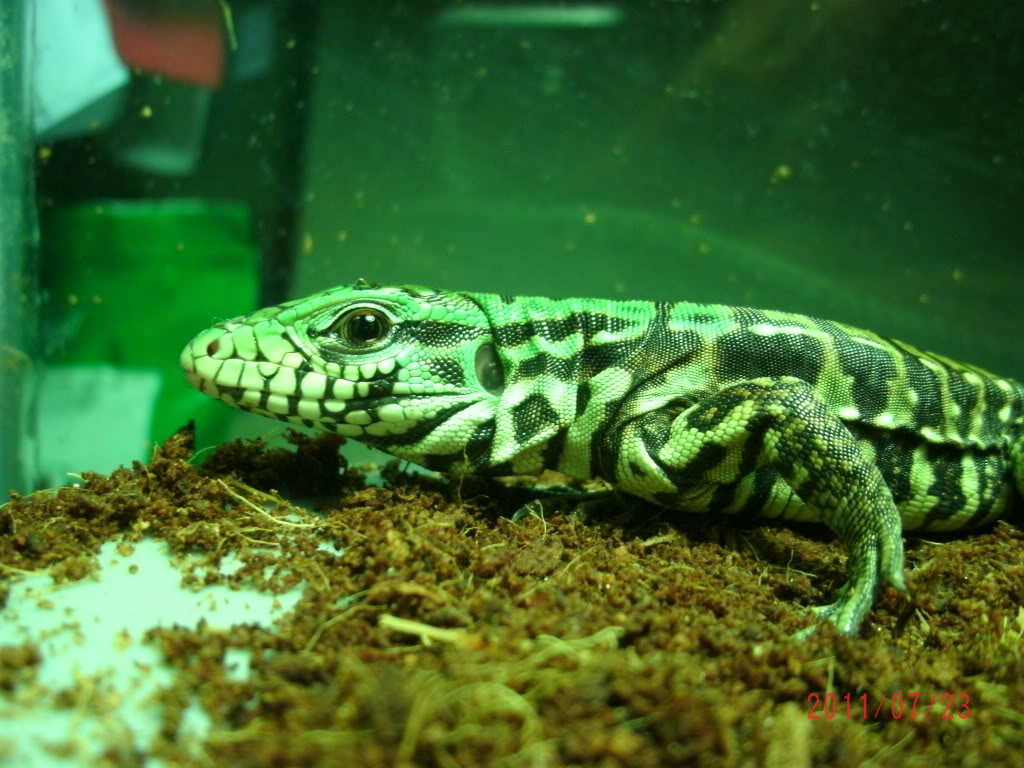 My Extreme Giant Tegu Hatchling (PIC HEAVY) GEDC0130