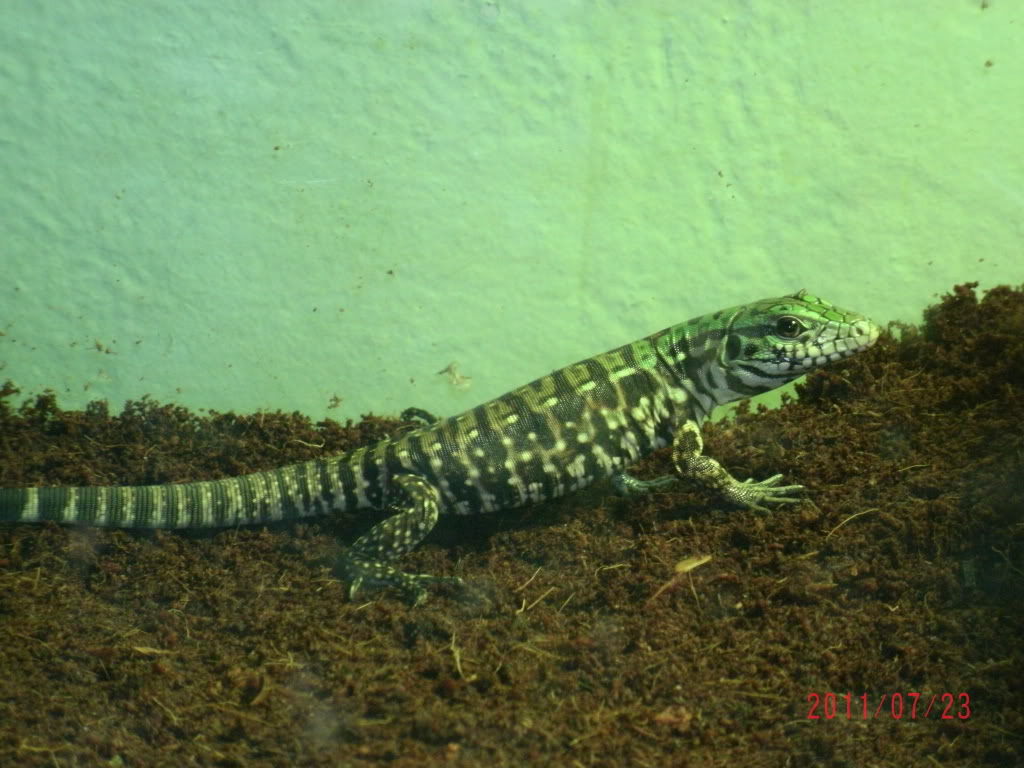 My Extreme Giant Tegu Hatchling (PIC HEAVY) GEDC0168