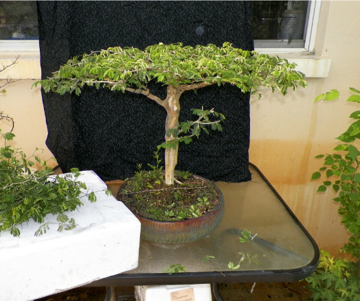 Brazilian Raintree Flat-top Progression. Lots of Pictures - please wait to load Bonsaijaxs066