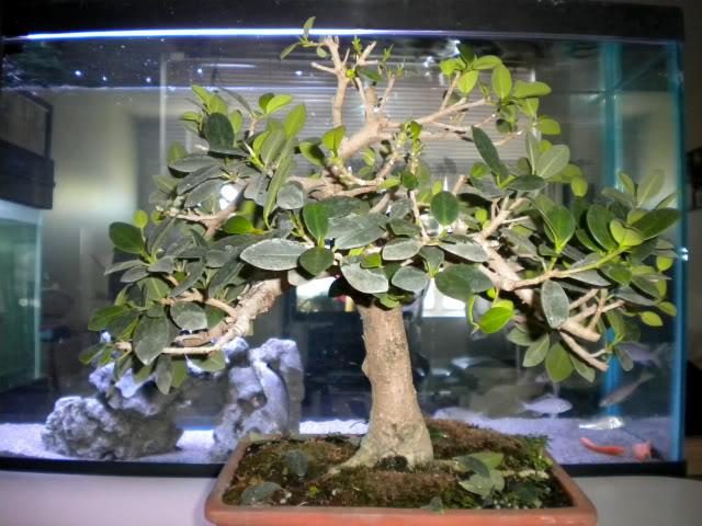 Ficus microcarpa 'Green Island' Ficus002