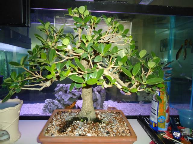 Ficus microcarpa 'Green Island' Ficus013
