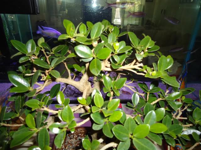 Ficus microcarpa 'Green Island' Ficus015