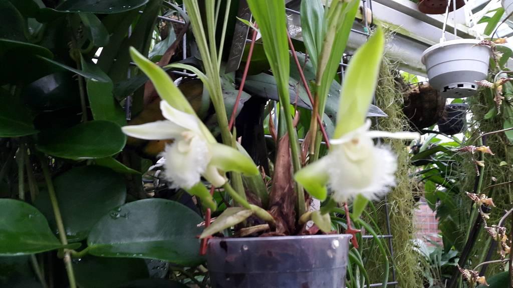 Lycaste trifoliata 20151018_142537_zpsdf2tafqj