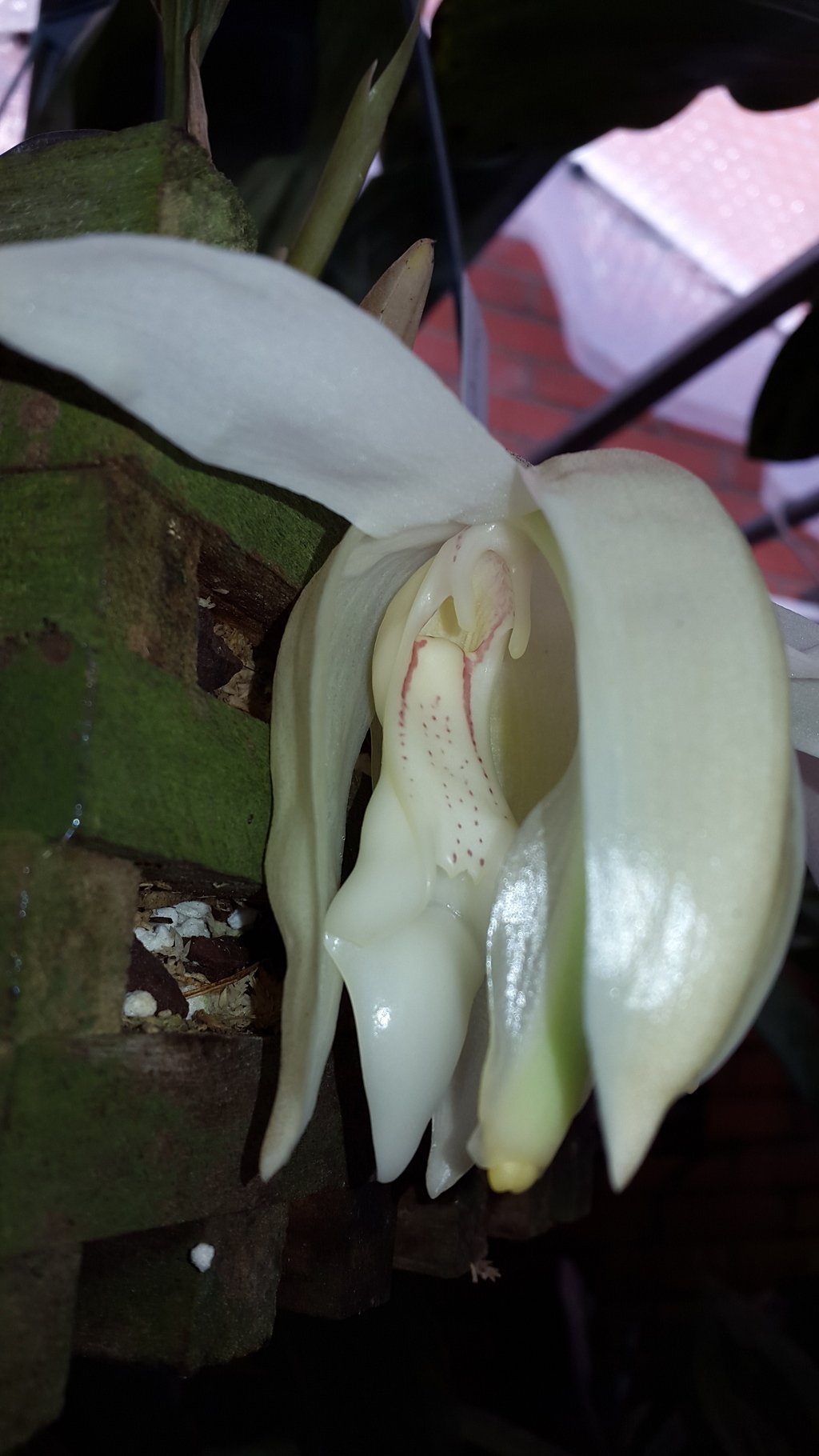Bluht jetzt, stanhopea grandiflora 20151025_142611_zpssbj8ficy