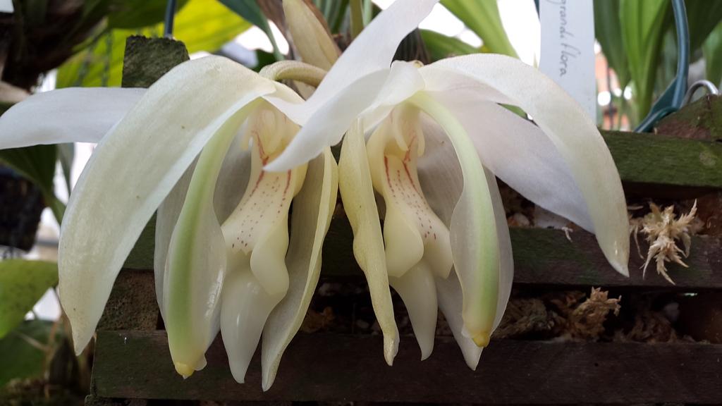 Bluht jetzt, stanhopea grandiflora 20151025_142629_zpsne9tsddi